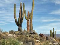 Vache dans les cactus