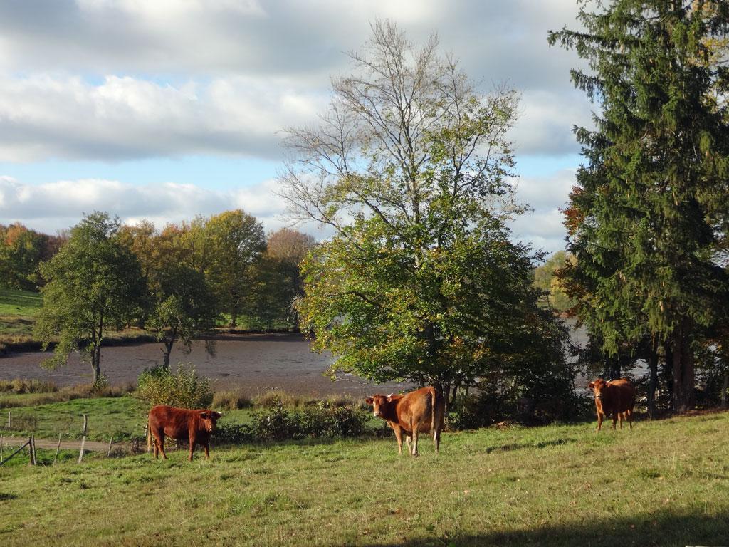 Vaches en automne