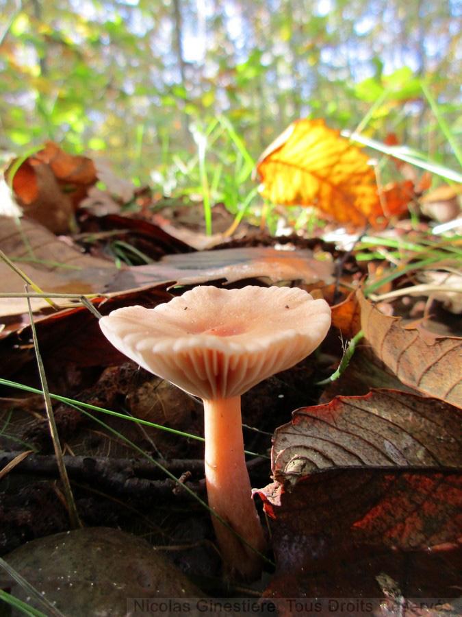 champignon-calice