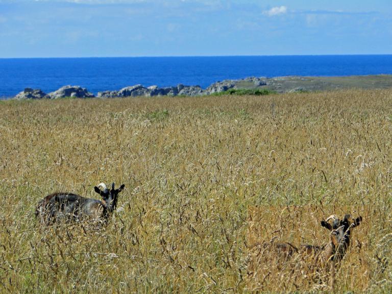 chèvres-Ouessant