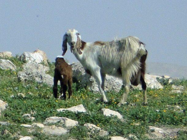 Autre chèvre de Jordanie