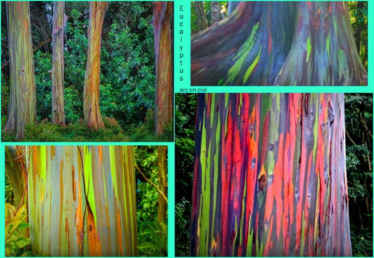 eucalyptus-aec
