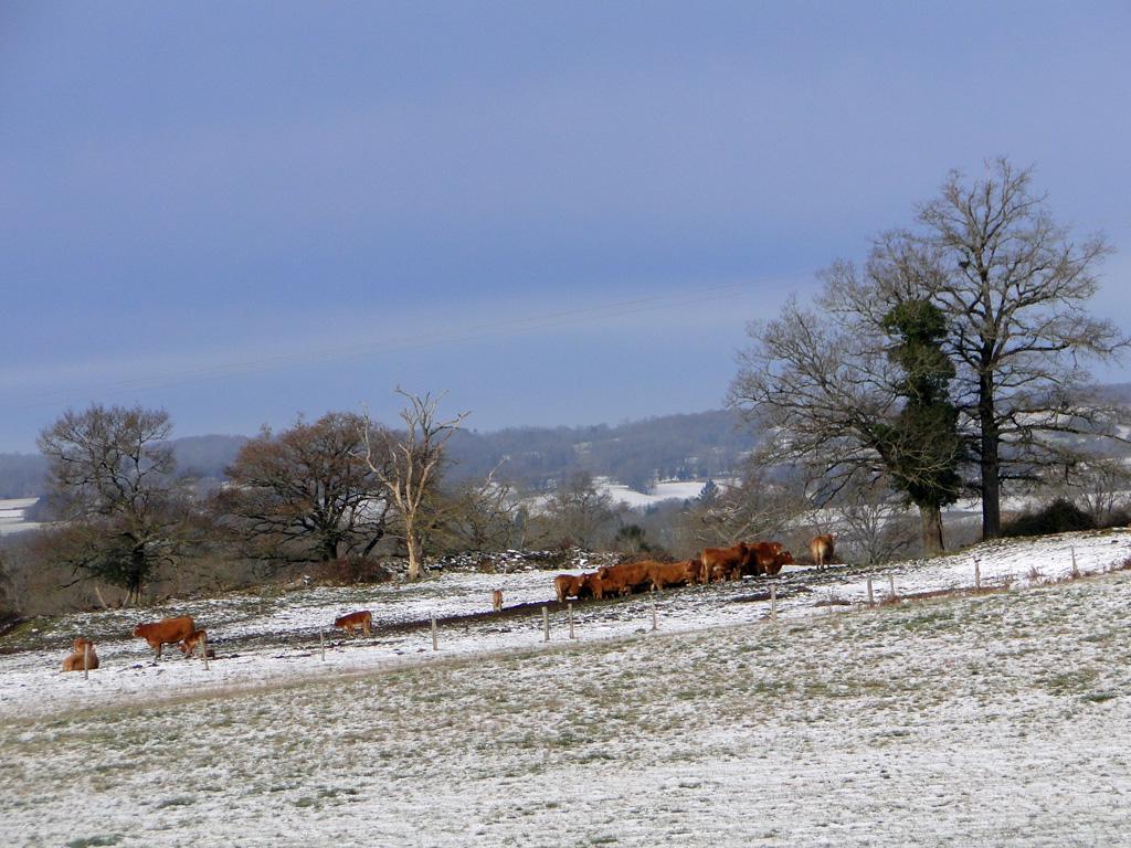 Vaches en hiver