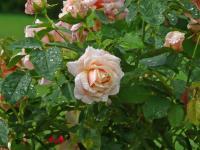 201801-La rosée