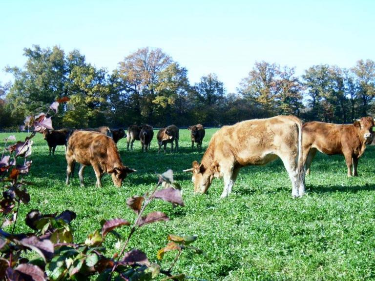 Vaches automne