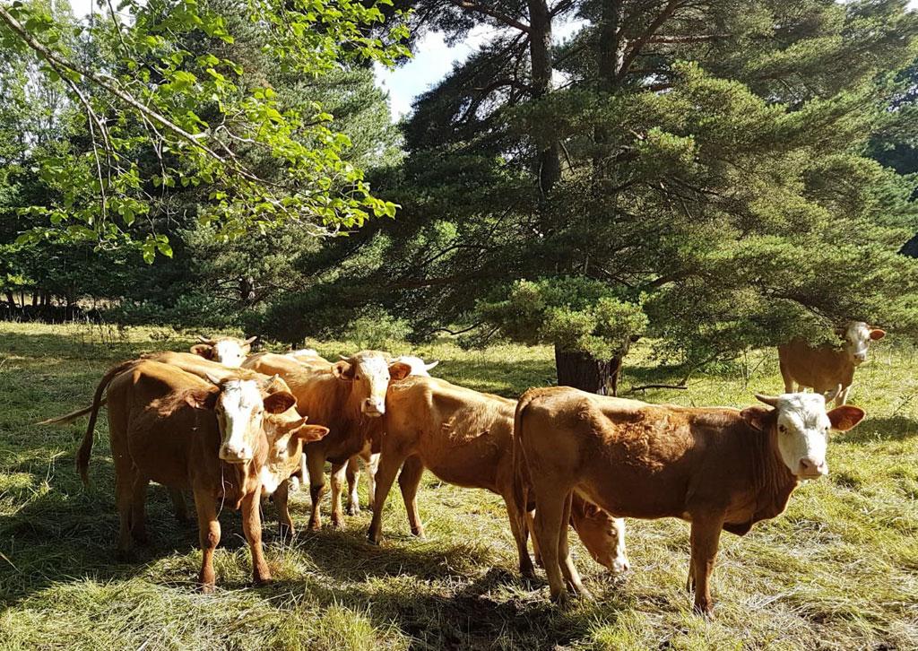 Vaches en été