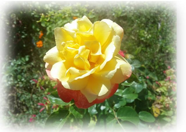 rose-du-jour