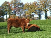 Limousin5mini 1