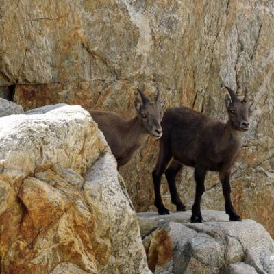 202010 faune de montagne faune1