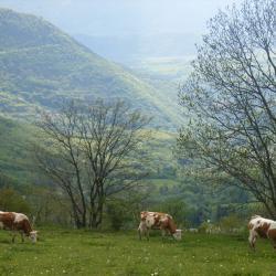 Vaches-au-printemps