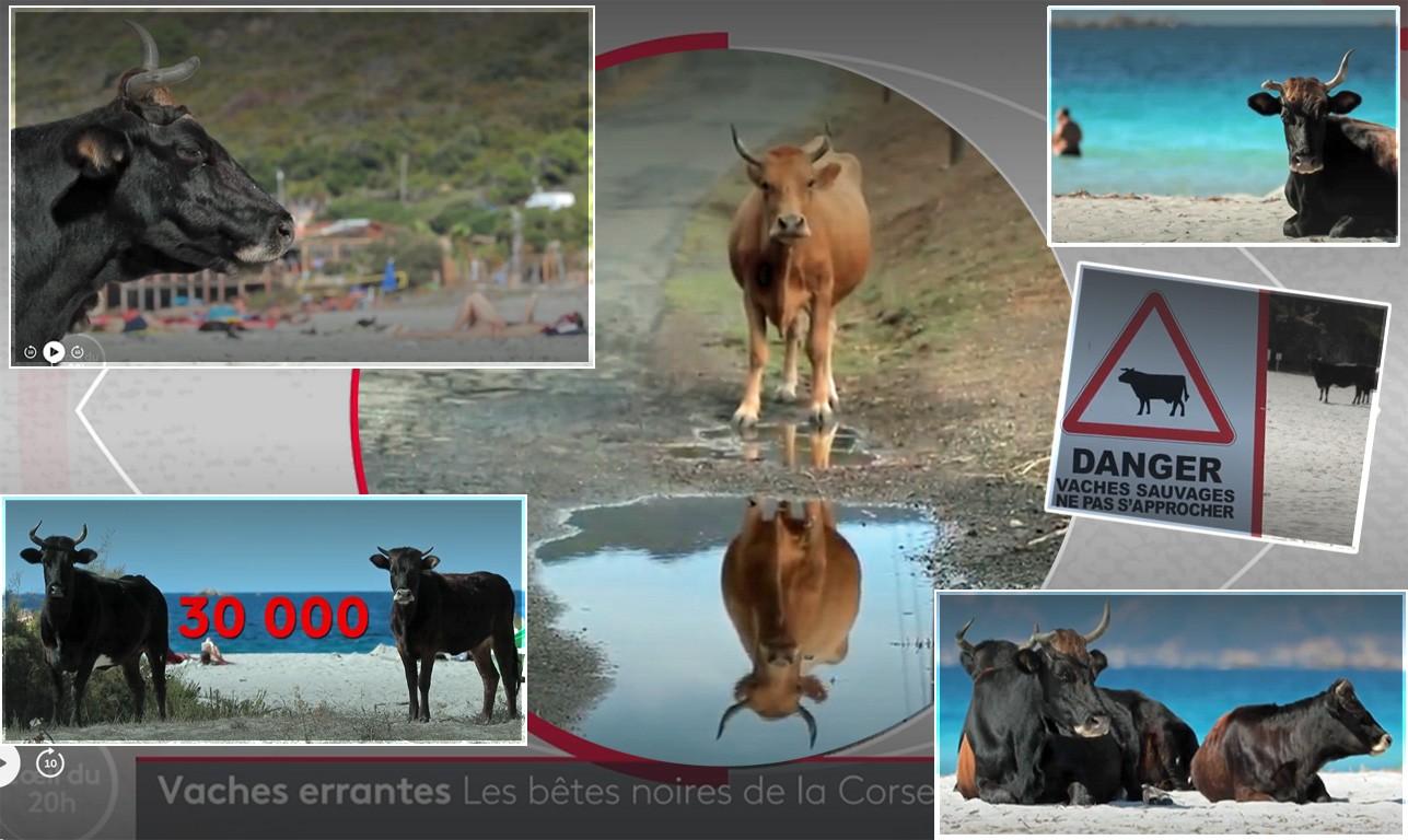 vaches en Corse