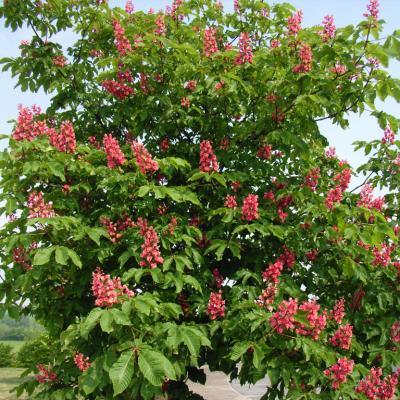 arbre-fleuri