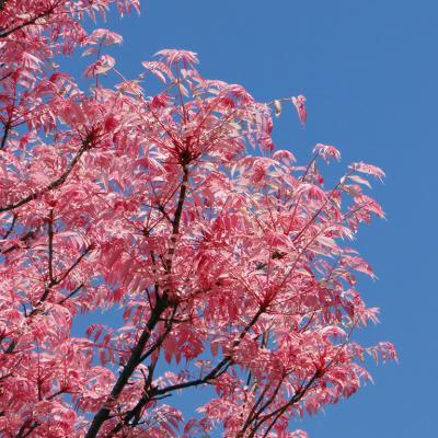 des feuilles roses !