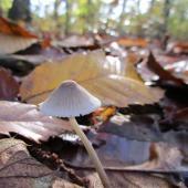 champignon-cône