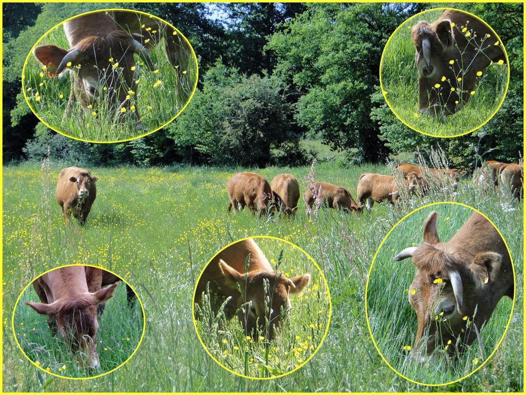 Vaches au printemps