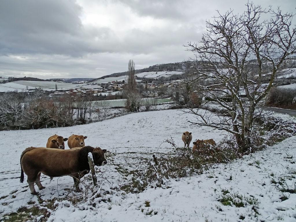 Les vaches habitent le paysage