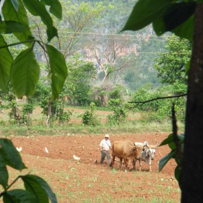 Scène de labour à Cuba
