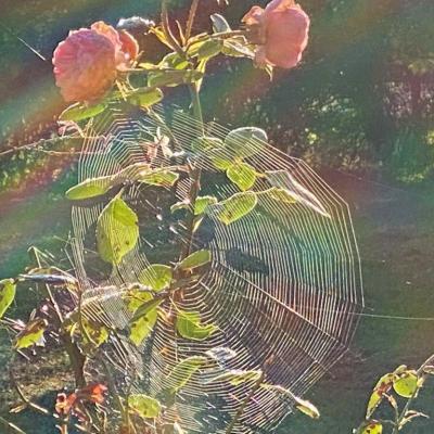 Matin des roses2