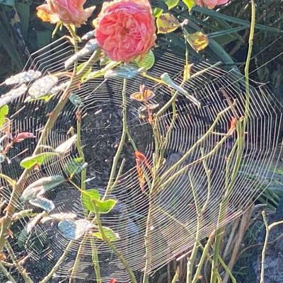 Matin roses3