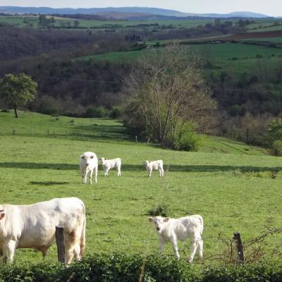 paysage-avec-vaches