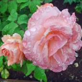 201801g8-La rosée