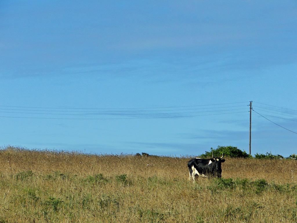 vache-Ouessant2