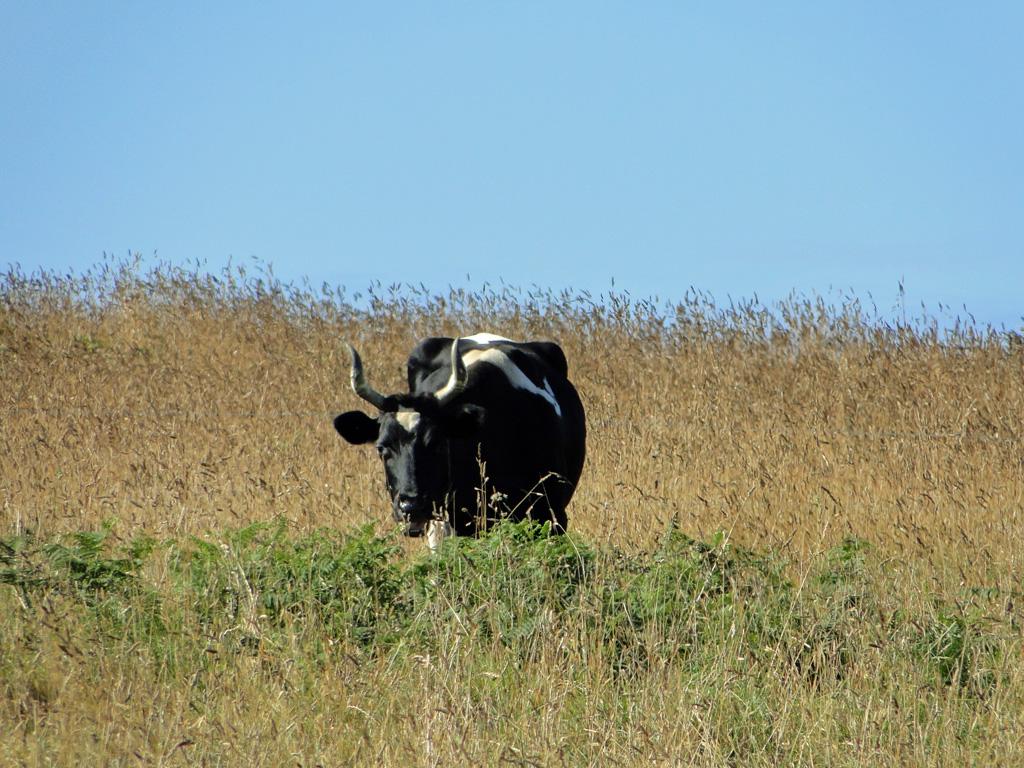 vache-Ouessant3