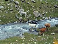 vaches au gué