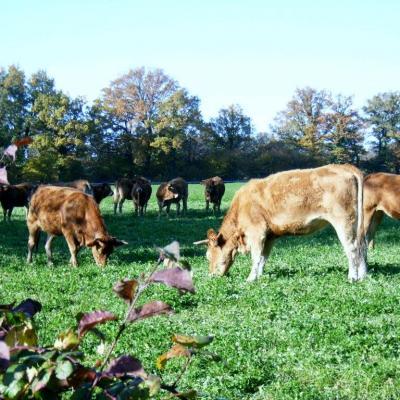 Vaches automne