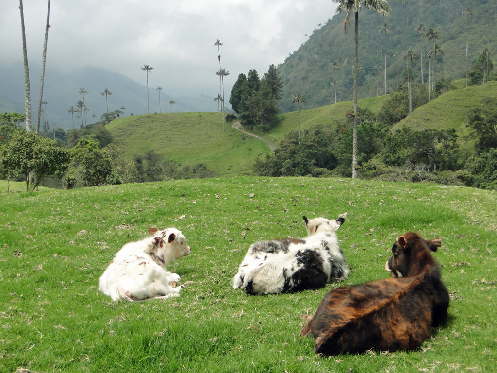 Vaches colombiennes