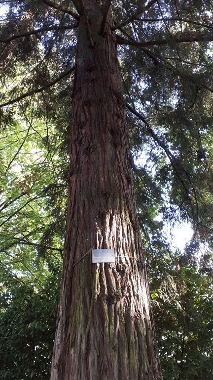 Vert-sequoia
