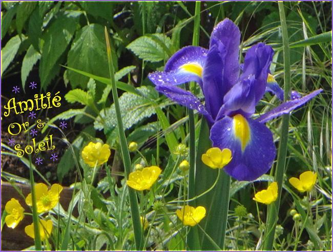 Amitie iris