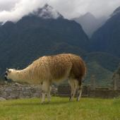 Lama au Machu Picchu