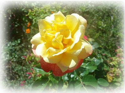 Rose du jour